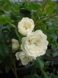 Rosa The Fairy White (Poly) Shrub Rose 2L Pot